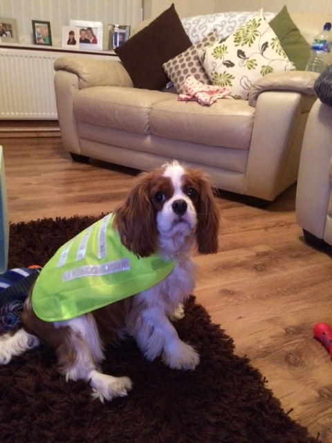 Alfie in high vis - Pet Therapy